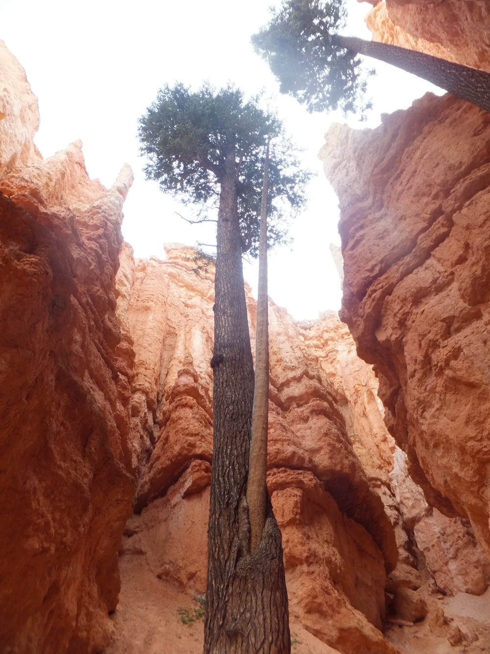 """Stromy """"uväznené"""" v Bryce canyone"""