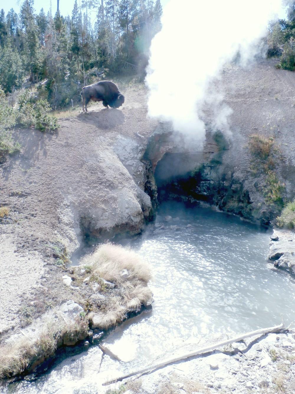 Odvážny (alebo bláznivý?) bizón si trúfol až na okraj útesu, pod ktorým vyviera vriaca voda.