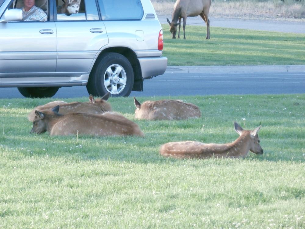 Americké zvieratká sú neuveriteľne krotké… takto sa váľajú hoci aj pri cestách.