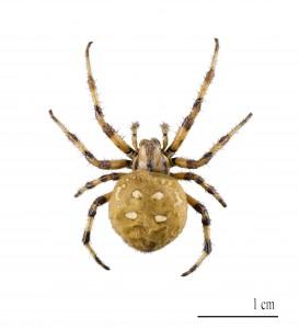 Pavúky sú živočíchy so zriedkavým mimotelovým trávením