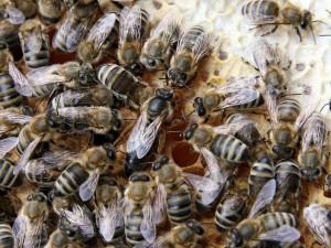 V niektorých hmyzích spoločenstvách (na obrázku včelie) nie sú všetky jedince schopné rozmnožovania