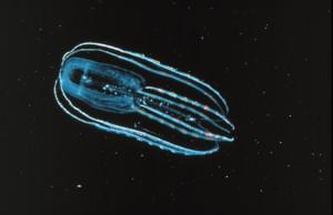 Rebrovka Bolinopsis infundibulum - príklad prvoústovca