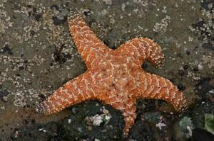 Morská hviezdica - príklad druhoústovca