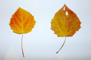 Červený list osiky, vľavo pred lisovaním, vpravo po ňom