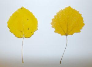 List osiky, vľavo pred lisovaním, vpravo po ňom. Všimnite si zvýraznenie žilnatiny vo vylisovanom stave.